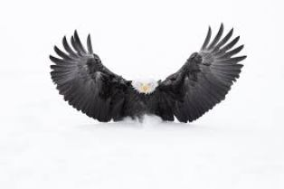 aigle aux ailes ouvertes de jérémie Villet