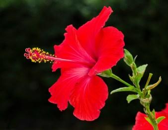 La belle rouge ( macro 100mm )
