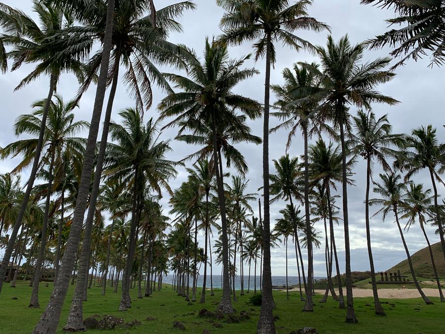 Palm Trees, Easter Island, Chile ©2019, Cyndie Burkhardt.