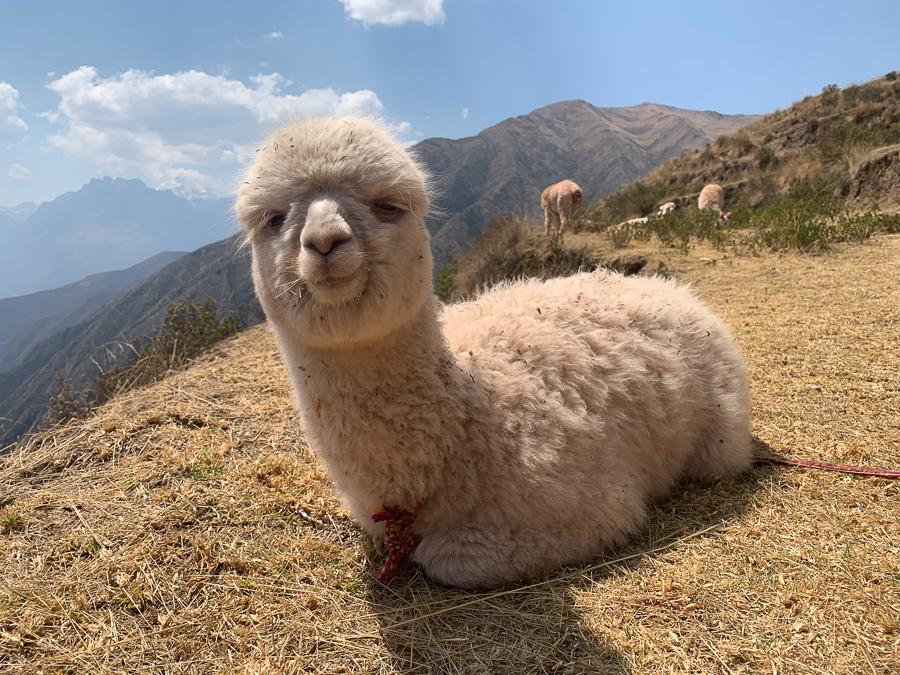 Alpaca, Chinchero, Peru ©2019, Cyndie Burkhardt.