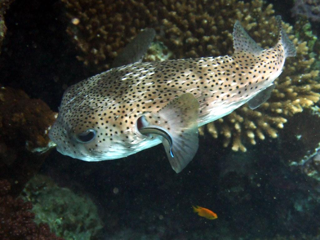 Diodon l 39 aquarium de poseidon for Red sea fish