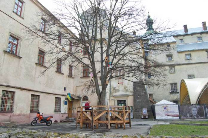 Столітній клен у Львові, якому повезло.