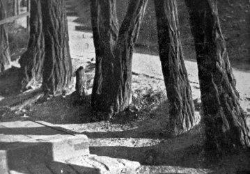 Роман Мирович. Старі пні, сер. 1930-х рр. (Світло й Тінь. – 1936. – Ч. 10/11)