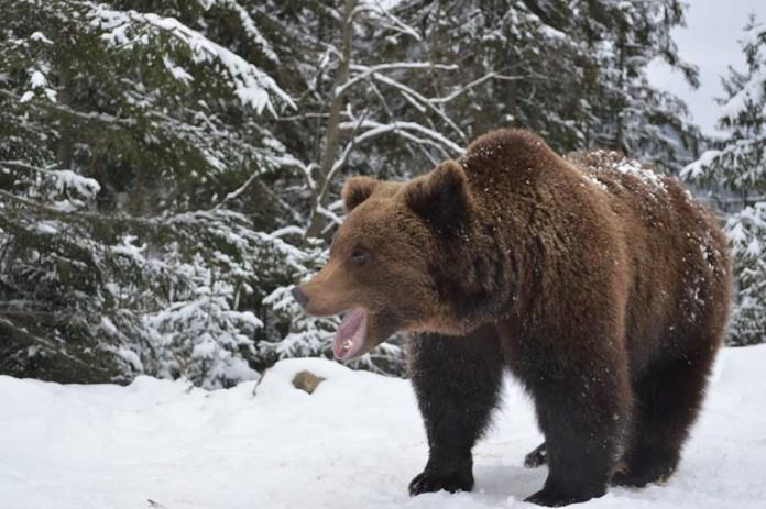 Карпатський ведмідь
