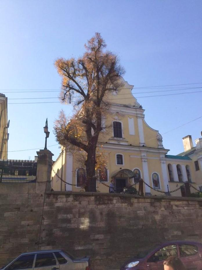 Сторічна липа поблизу Церкви Покрови Богородиці та Біологічного факультету ЛНУ ім.І.Франка