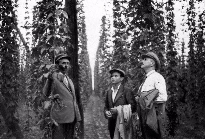 Плантація хмелю, Дубенщина, 1920-ті роки