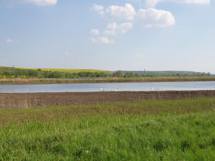 Поруч Нових Скоморох є озера де надзвичайно багато лебедів. Просто як диких качок