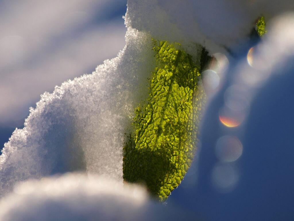 Das Bild zeit ein Salbeiblass im Schnee im Gegenlicht mit rgenbogenfarbigem Bokeh daneben