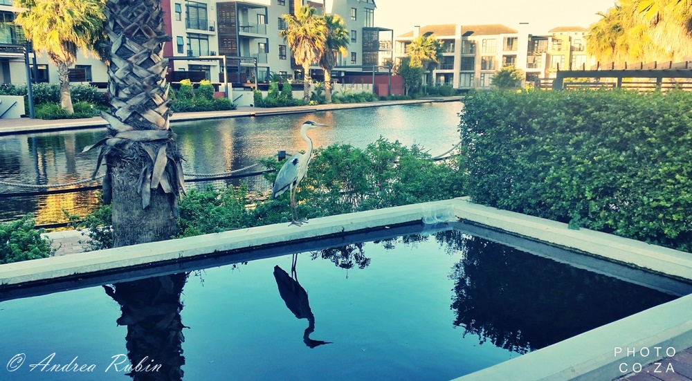 greatblueheron-photo