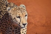 Cheetah-Madikwe Game Reserve (1)
