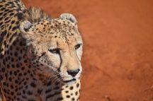 Cheetah-Madikwe Game Reserve (1)