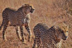Cheetah-Madikwe Game Reserve (2)