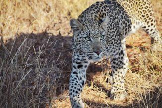 Leopard-Madikwe Game Reserve (3)