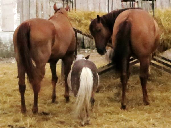 Deux chevaux, un poney, trois adultes. - photo Paul Sableman, CC-BY, recadrée et débouchée.