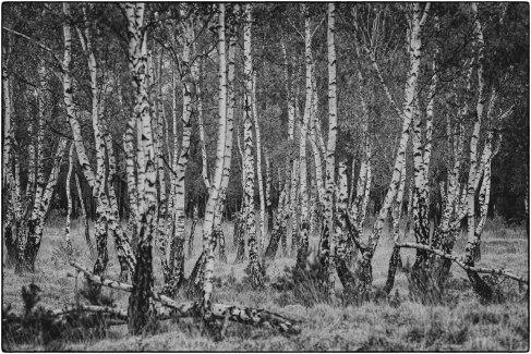 Birken Schwarzweiß
