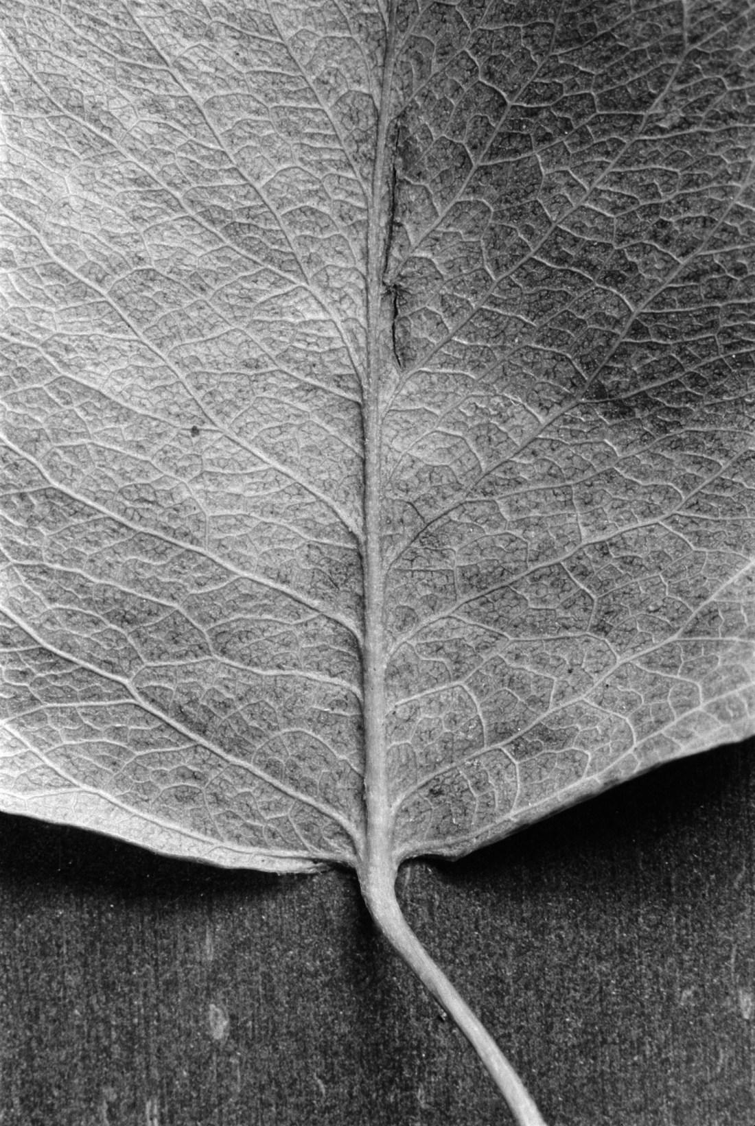 Still Life: Leaf Macro