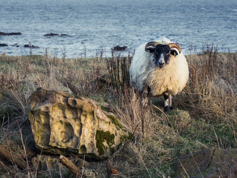 Scottish Sheep I