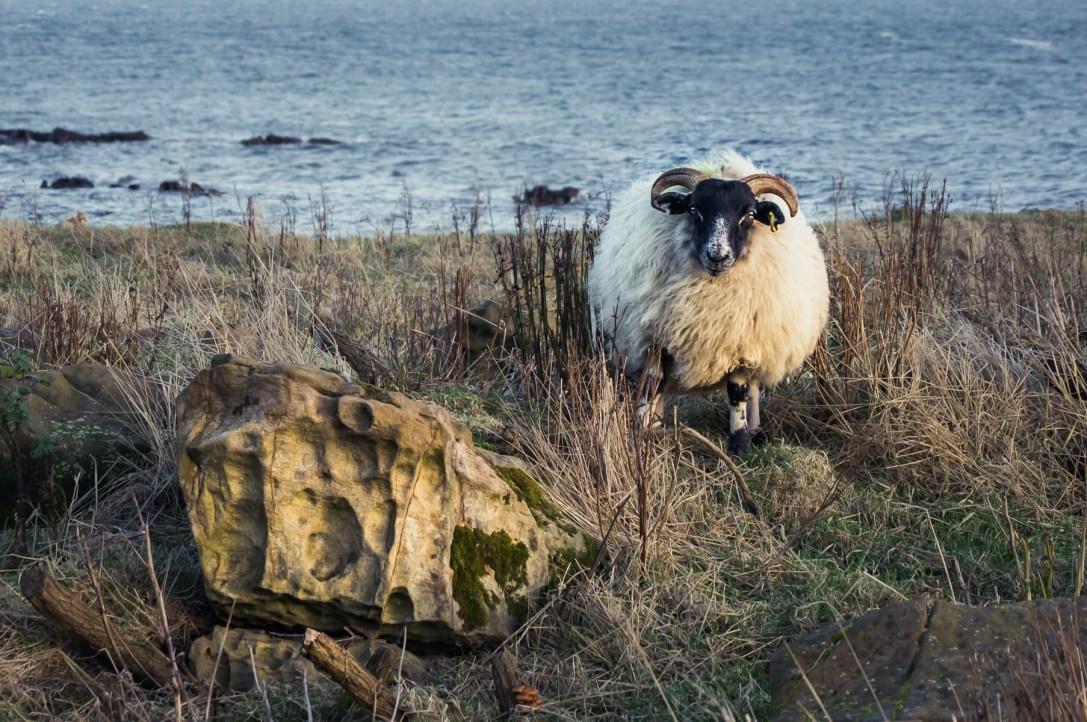 Scottish Sheep I