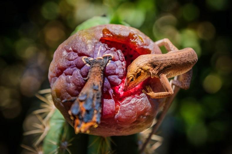 Un gecko qui mange un fruit rouge