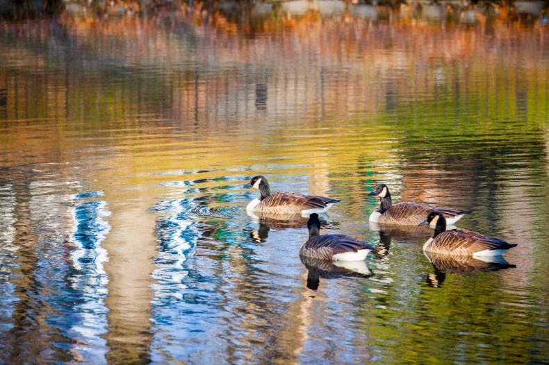Quatre bernaches du Canada qui nagent sur l'eau aux reflets multicolores