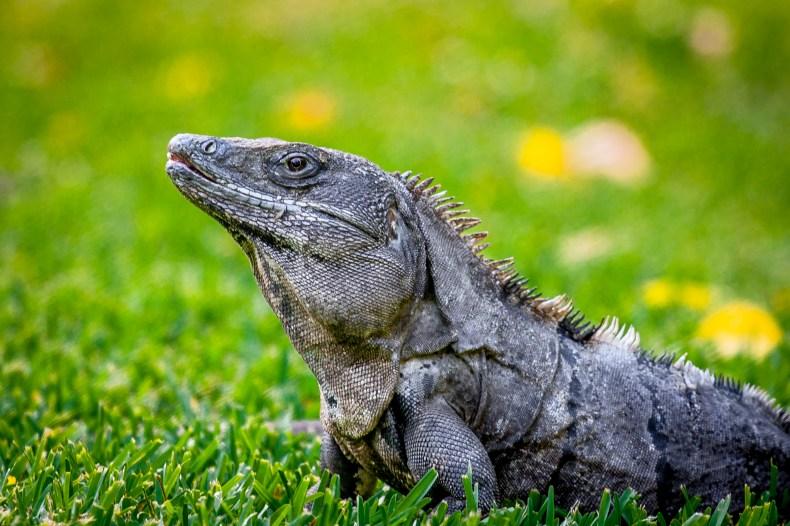 Iguane sur pelouse