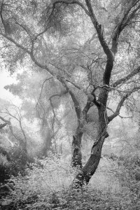 FINAL IMAGE: Coast Live Oak, Morning Fog