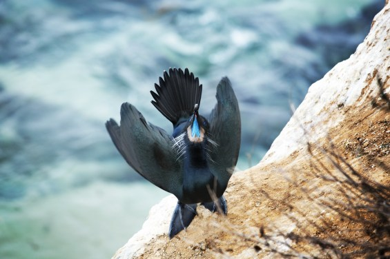 Brandt's Cormorant, by Dan Bucko