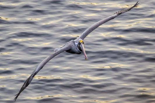 Brown Pelican in flight, by Tom Applegate
