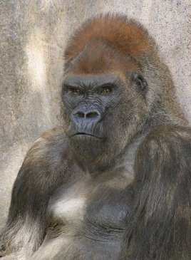Steven Cirone - Gorilla