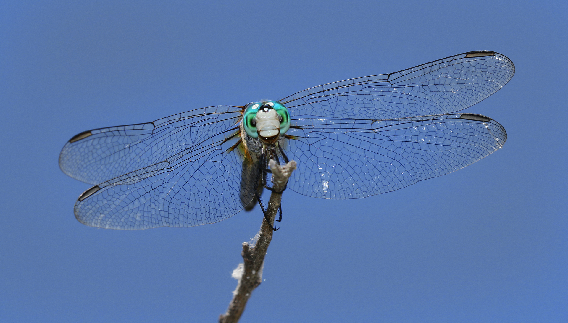 Dragonfly by Steve Cirone (Canon 7D Mark II, Canon 100-400mm II lens, Canon 600EX hot shoe flash)