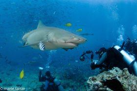 Sharks, Fiji