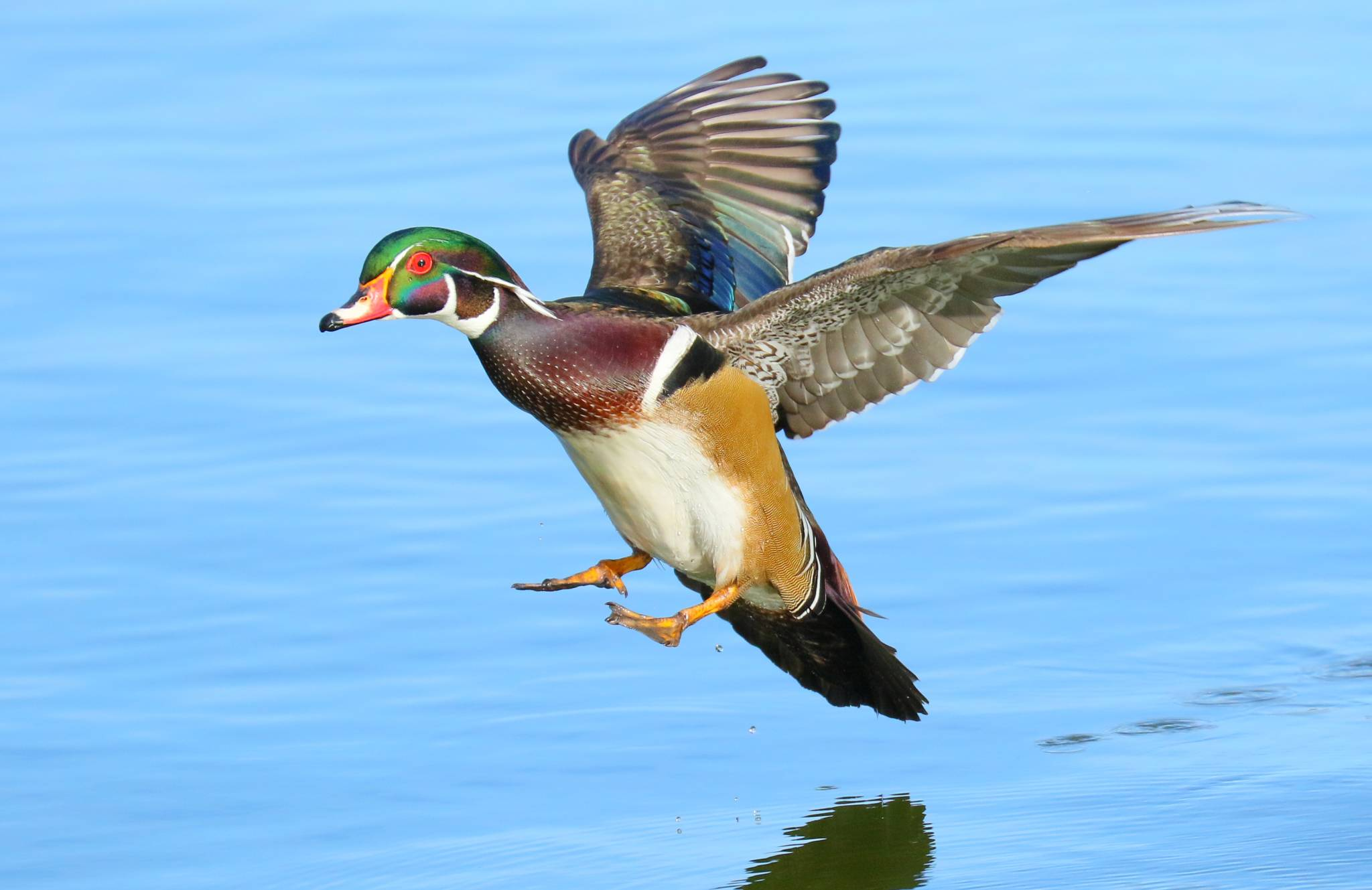 Steve Cirone - Wood Duck landing at Santee Lakes