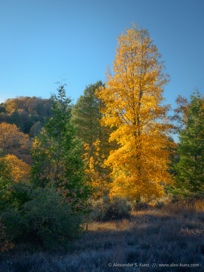 Black Oak in fall, Palomar Mountain, November 2011.