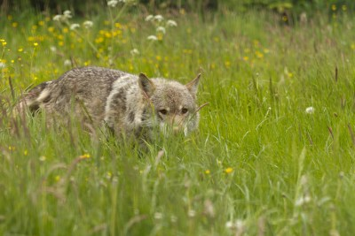 Wolf at UKWCT stalking through the grass