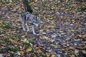 wilk-swinoujscie-fotograf-photoars