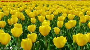 Tulips 020