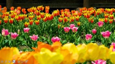 Tulips 024