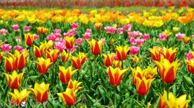 Tulips 031