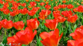 Tulips 032