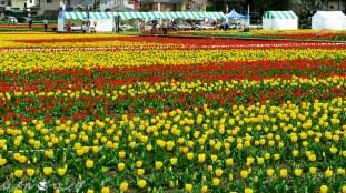 Tulips 033