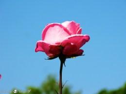 Rose 010