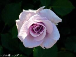 Rose 030