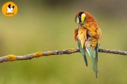 bee-eater-3