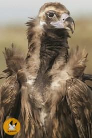 black-vulture-r