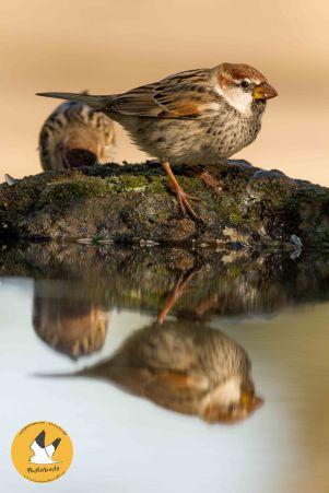 spanish-sparrow-4-pb