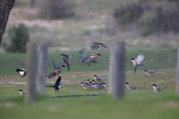 Swarming magpies.