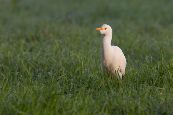 Western Cattle Egret   kohäger   Bubulcus ibis