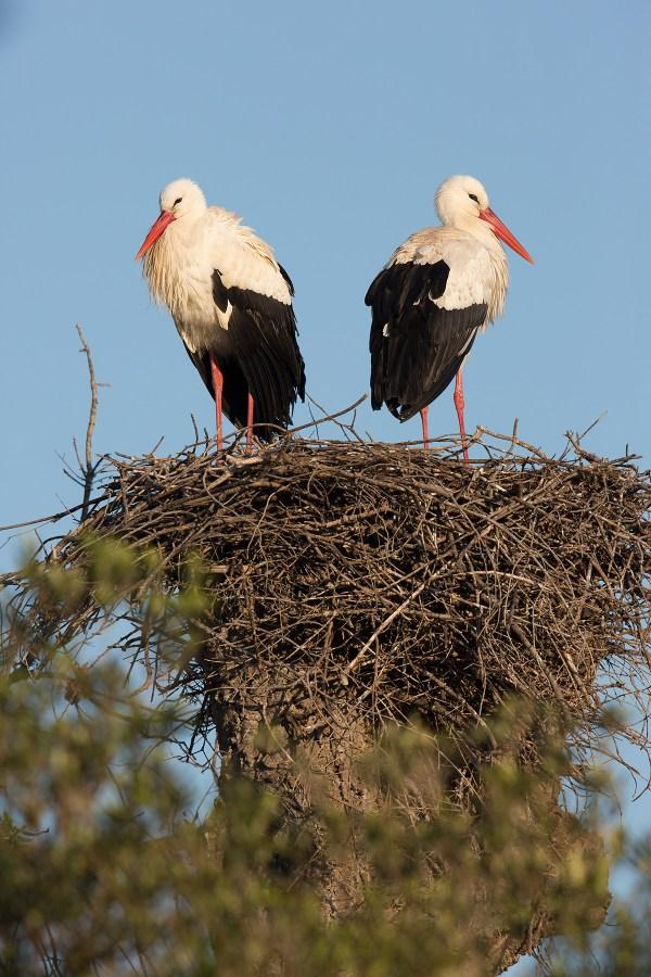 White Stork   vit stork   Ciconia ciconia