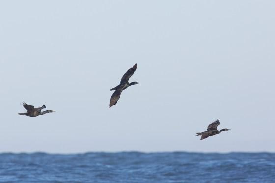 Brandt's Cormorant | blåstrupig skarv | Phalacrocorax penicillatus