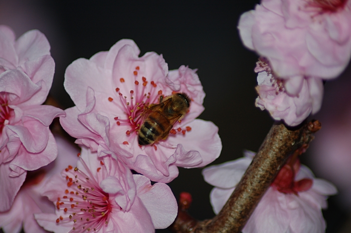 Bee and blossom: take 4